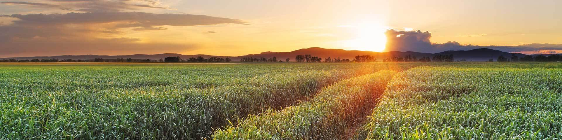 corn field at sunrise